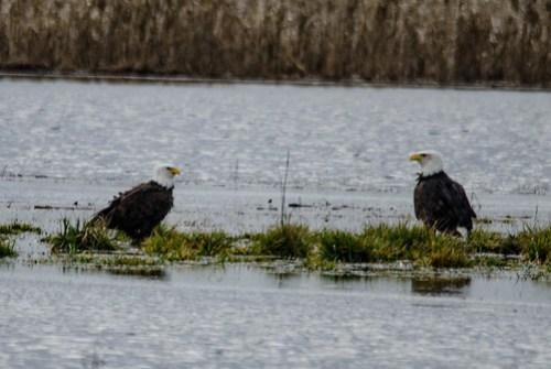 Eagles in Skagit Valley-028