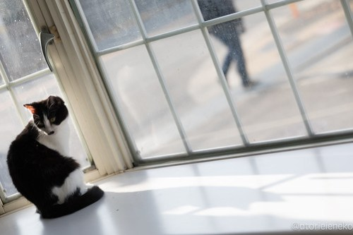 アトリエイエネコ Cat Photographer 38538262580_871e2b5731 1日1猫!高槻ねこのおうち 里親様募集中のチョビ助♪ 1日1猫!  高槻ねこのおうち 里親様募集中 猫写真 猫 子猫 大阪 写真 保護猫 カメラ Kitten Cute cat
