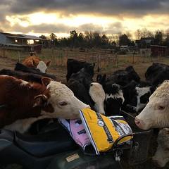 Silly cows, that's not for you! #cowseatgrass #justaddgrass #herbivore #familyfarm #triplejfarmsc