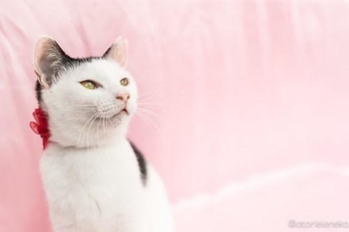 アトリエイエネコ Cat Photographer 28316032189_9d534d7374 1日1猫!高槻ねこのおうち 里親様募集中のかっぱちゃん🎶 1日1猫!  高槻ねこのおうち 里親様募集中 猫写真 猫 子猫 大阪 写真 保護猫 Kitten Cute cat