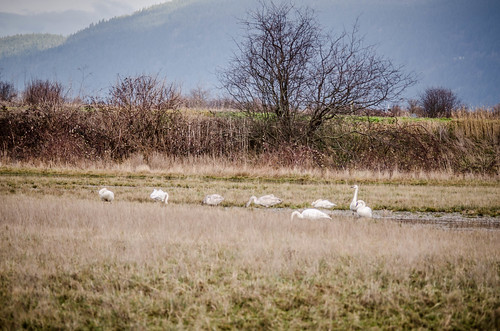Trumpeter Swans-002