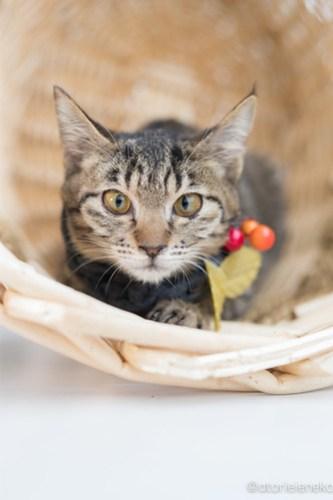 アトリエイエネコ Cat Photographer 25086183077_a50e94c1fd 1日1猫!高槻ねこのおうち 里親様募集中のリンちゃん♪ 1日1猫!  高槻ねこのおうち 里親様募集中 猫写真 猫 子猫 大阪 写真 保護猫 マフラー スマホ キジ猫 カメラ Lightroom Kitten Cute cat