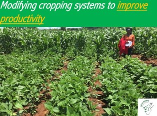 Challenging the status quo by making adjustments to traditional bean and pigeon pea cropping system.