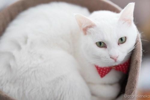 アトリエイエネコ Cat Photographer 40302534212_b6b97ef5cd 1日1猫!高槻ねこのおうち 里親様募集中のゆきちゃん♪ 1日1猫!  高槻ねこのおうち 里親様募集中 白猫 猫写真 猫 子猫 大阪 写真 保護猫 カメラ Kitten Cute cat