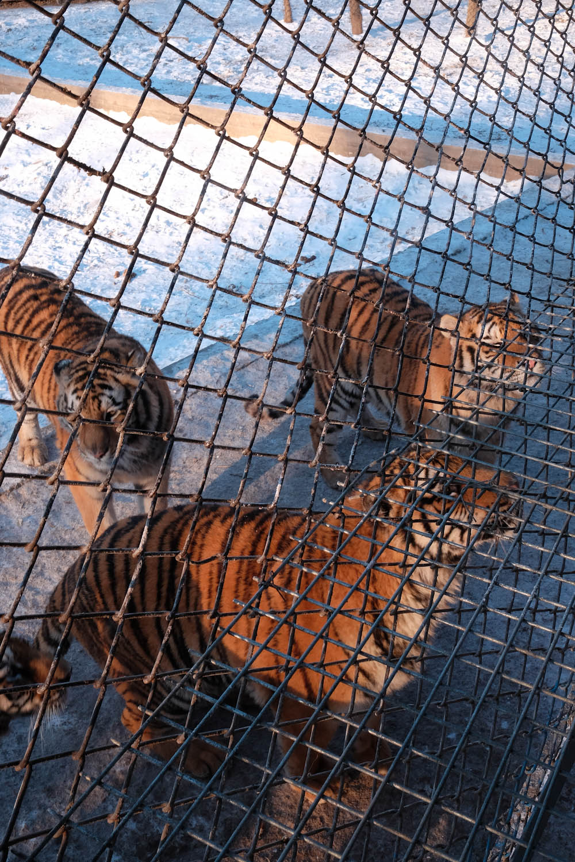 Siberian Tiger Park Harbin China-5