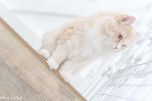 アトリエイエネコ Cat Photographer 25517247128_456803da28 譲渡型猫CAFEねこの木