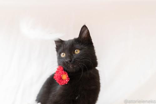 アトリエイエネコ Cat Photographer 24084489677_6ae30eb4e7 1日1猫!はちお君のトライアル決定♬ 1日1猫!  里親様募集中 猫 子猫 大阪 cat