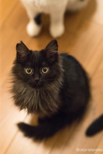 アトリエイエネコ Cat Photographer 38640725805_e3d1d8dcbc 1日1猫! 猫カフェみーちゃ・みーちょに行ってきました!その1 1日1猫!  里親様募集中 猫写真 猫 子猫 大阪 写真 保護猫カフェ 保護猫 スマホ カメラ みーちゃ・みーちょ Kitten Cute cat