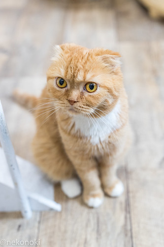 アトリエイエネコ Cat Photographer 39387394731_69b47d6ef7 譲渡型猫CAFEねこの木