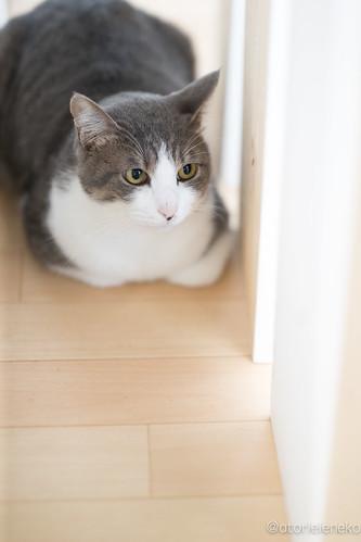 アトリエイエネコ Cat Photographer 38593836445_ea826c708c 1日1猫!保護猫カフェねこんチ コロ助君とトライアルに旅たつメロンちゃん♬ 1日1猫!  猫 子猫 大阪 写真 保護猫カフェねこんチ 保護猫 カメラ cat