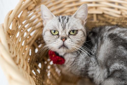 アトリエイエネコ Cat Photographer 25241114028_bdde9b1f29 1日1猫! 高槻ねこのおうち アンジーちゃん 1日1猫!  猫 保護猫 cat
