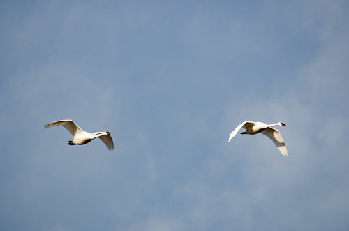 Trumpeter Swans-001
