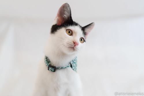 アトリエイエネコ Cat Photographer 38972943094_0134f399e2 1日1猫!おおさかねこ倶楽部 里親様募集中のジンベエ君です♬ 1日1猫!  里親様募集中 猫写真 猫 子猫 大阪 写真 保護猫 スマホ カメラ おおさかねこ倶楽部 Kitten Cute cat