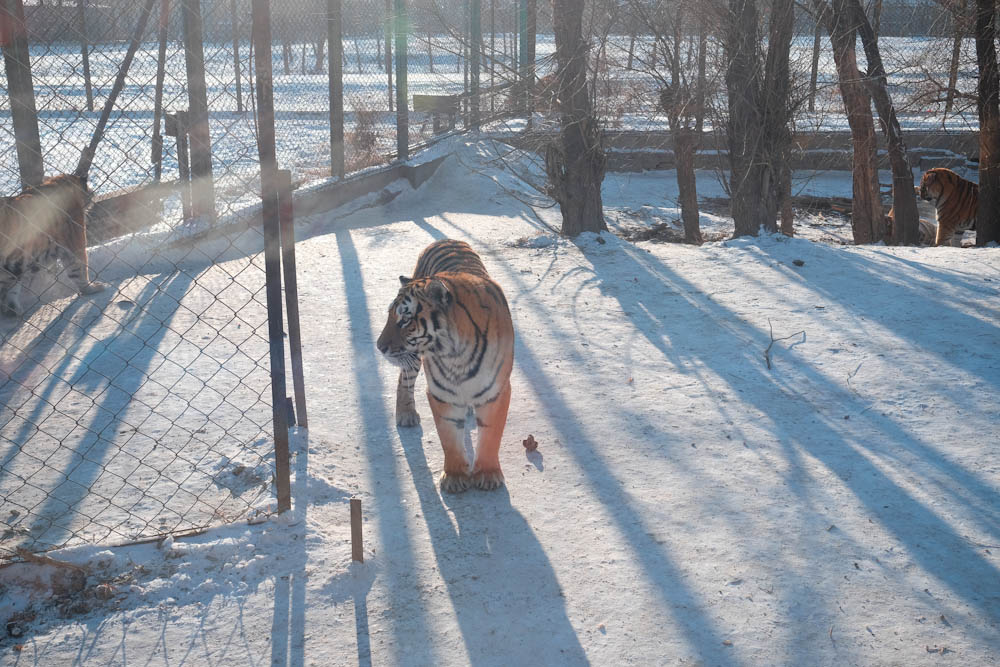 Siberian Tiger Park Harbin China-3
