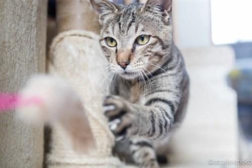 アトリエイエネコ Cat Photographer 26347198758_99aa0028ee 1日1猫!おおさかねこ俱楽部 ツンデレなこんぶ君♪ 1日1猫!  里親様募集中 猫写真 猫 子猫 大阪 初心者 写真 保護猫 キジ猫 おおさかねこ倶楽部 Kitten Cute cat