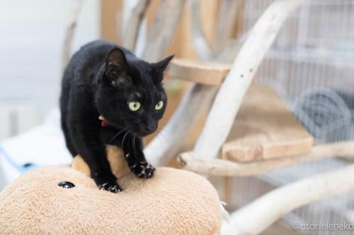 アトリエイエネコ Cat Photographer 26485404518_1917357d75 1日1猫!猫カフェきぶん屋さんに行ってきました♪(1/3) 1日1猫!  里親様募集中 猫写真 猫 子猫 大阪 写真 兵庫 保護猫カフェ 保護猫 キジ猫 カメラ きぶん屋 Kitten Cute cat