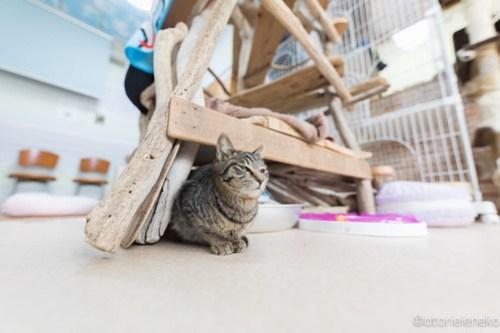 アトリエイエネコ Cat Photographer 26485429888_d4fb2a064c 1日1猫!猫カフェきぶん屋さんに行ってきました♪(2/3) 1日1猫!  里親様募集中 猫写真 猫カフェ 猫 子猫 大阪 兵庫 保護猫カフェ 保護猫 カメラ きぶん屋 Kitten Cute cat