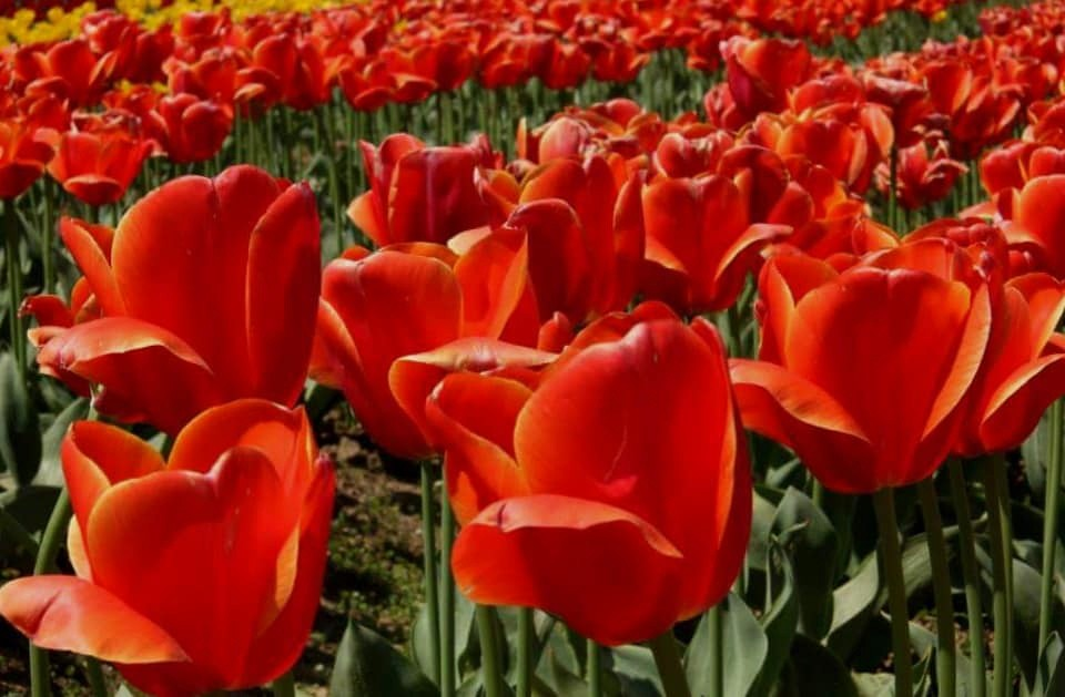 Big red fully bloomed tulips at srinagar tulip festival