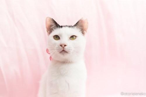 アトリエイエネコ Cat Photographer 28316030689_dd7391f46e 1日1猫!高槻ねこのおうち 里親様募集中のかっぱちゃん🎶 1日1猫!  高槻ねこのおうち 里親様募集中 猫写真 猫 子猫 大阪 写真 保護猫 Kitten Cute cat