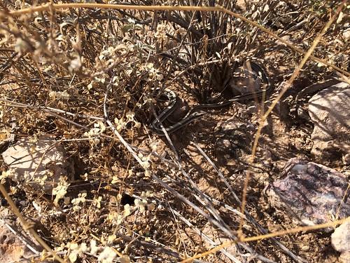 BGAFR -  desert animals snake