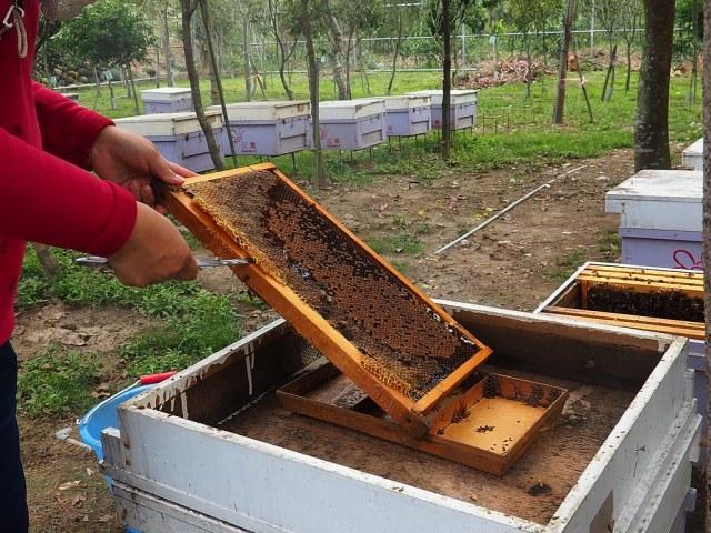 古坑三美養蜂 (15)