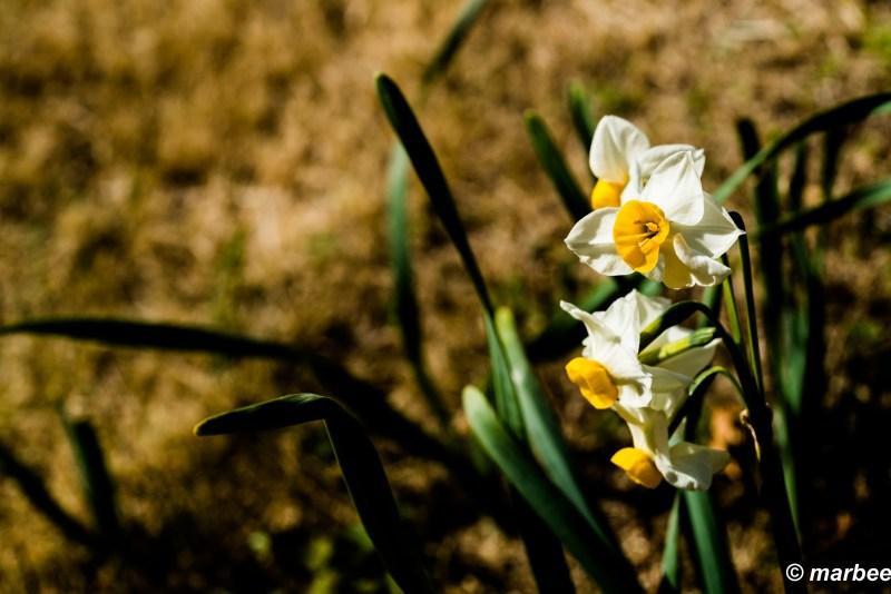 Bloomed daffodils