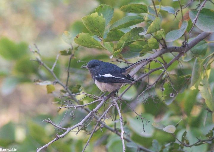 Oriental magpie-robin (Copsychus saularis), male.
