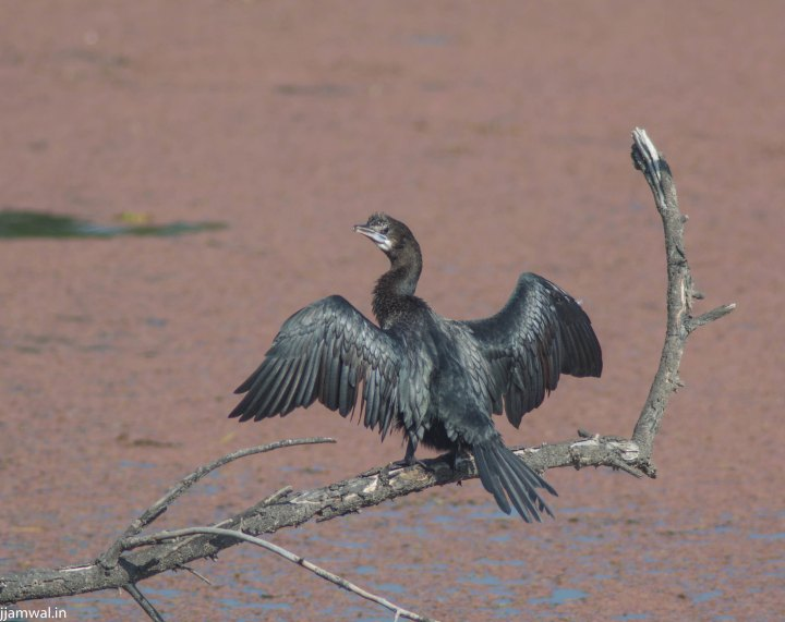 Same bird drying it's wings in sun. It's feathers are not water proof like most other birds which forage in water