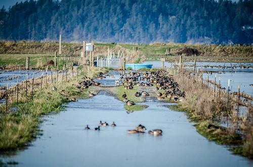 Skagit Morning Birds-24