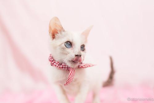 アトリエイエネコ Cat Photographer 27642855099_faf5570029 1日1猫!高槻ねこのおうち 小雪ちゃん 1日1猫!  高槻ねこのおうち 猫写真 猫 子猫 写真 保護猫 スマホ カメラ cat