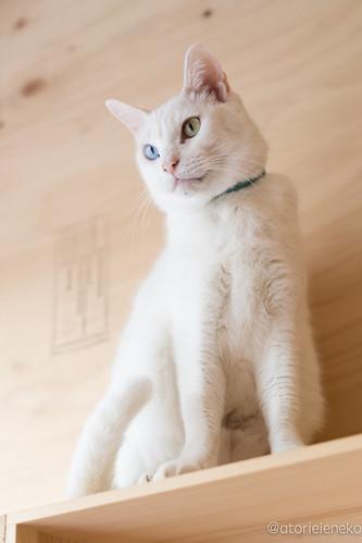 アトリエイエネコ Cat Photographer 25374034498_5a1c34951f 保護猫とカフェ『ニャンとぴあ』