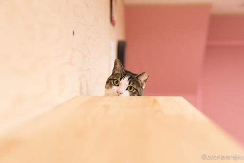 アトリエイエネコ Cat Photographer 25684807638_3568977845 1日1猫! 保護猫とカフェ 夕暮れ時のニャンとぴあ 1日1猫!  里親様募集中 猫 大阪 写真 保護猫 ニャンとぴあ Kitten Cute cat