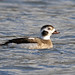 DSP01849 - Long Tailed Duck ♂ (Clangula hyemalis)