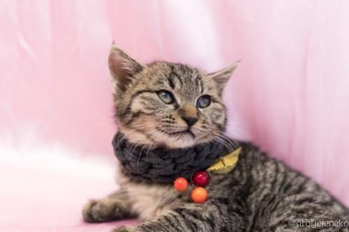 アトリエイエネコ Cat Photographer 25225076307_b7da367ca9 1日1猫!高槻ねこのおうち ティアラちゃん♪ 1日1猫!  高槻ねこのおうち 里親様募集中 猫写真 猫 子猫 大阪 写真 保護猫 スマホ キジ猫 Kitten Cute cat