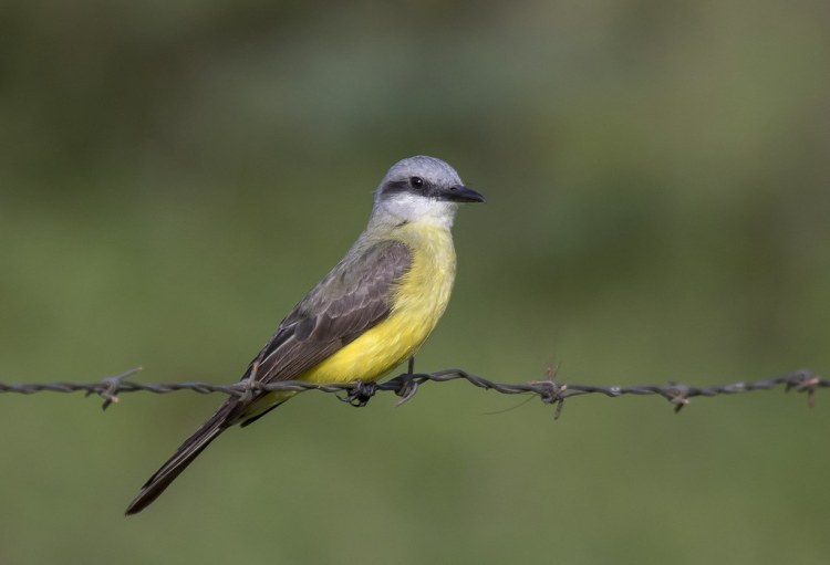 suiriri-de-garganta-branca (Tyrannus albogularis)  White-throated Kingbird