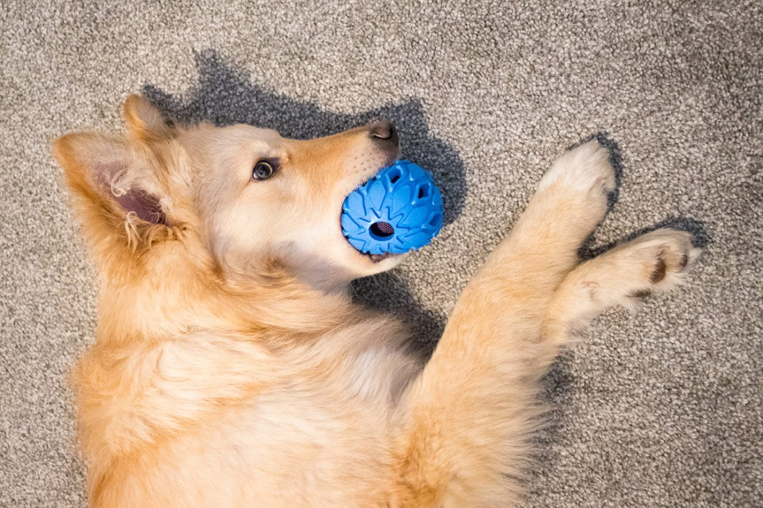 Nellie-chewing-a-ball