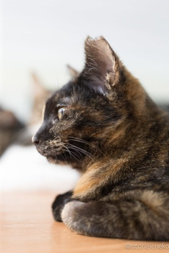 アトリエイエネコ Cat Photographer 26485438088_88bfa24eb5 1日1猫!猫カフェきぶん屋さんに行ってきました♪(3/3) 1日1猫!  里親様募集中 猫写真 猫 宝塚 子猫 大阪 写真 兵庫 保護猫カフェ 保護猫 スマホ キジ カメラ きぶん屋 Kitten Cute cat