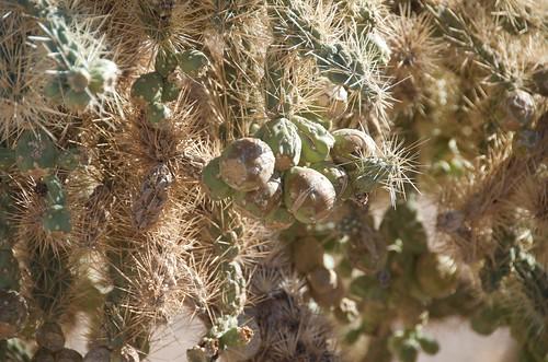 BGAFR -  desert cholla fruit