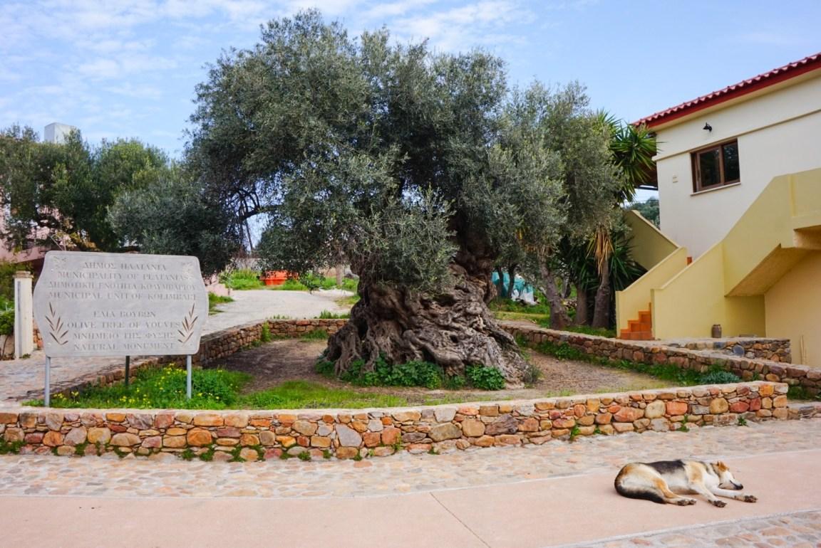 Oliivipuu. Vouves, Kreeta