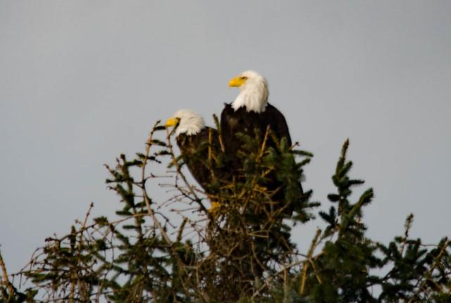 Eagles in Skagit Valley-014