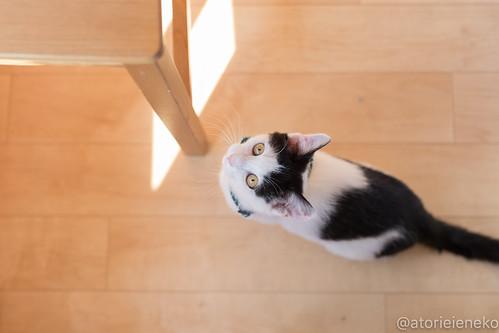 アトリエイエネコ Cat Photographer 27903350439_cf90d7ae05 1日1猫!おおさかねこ倶楽部 里親様募集中のジンベエ君です♬ 1日1猫!  里親様募集中 猫写真 猫 子猫 大阪 写真 保護猫 スマホ カメラ おおさかねこ倶楽部 Kitten Cute cat