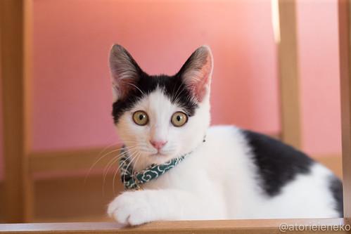 アトリエイエネコ Cat Photographer 38972872314_cf129e1d1f 1日1猫!おおさかねこ倶楽部 里親様募集中のジンベエ君です♬ 1日1猫!  里親様募集中 猫写真 猫 子猫 大阪 写真 保護猫 スマホ カメラ おおさかねこ倶楽部 Kitten Cute cat
