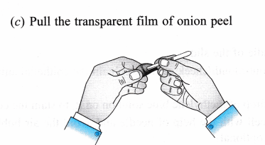 ncert-class-9-science-lab-manual-slide-of-onion-peel-and-cheek-cells-4