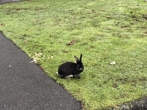 Nanaimo - bunny