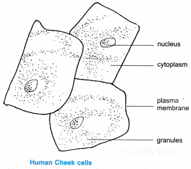 Animal Cell Easy Diagram For Class 9