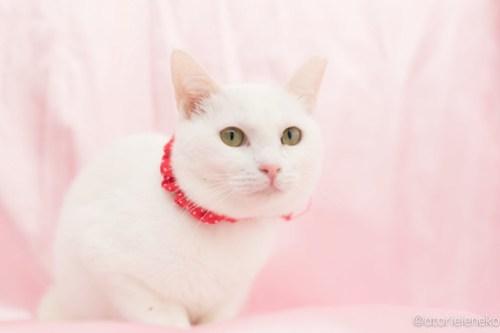 アトリエイエネコ Cat Photographer 25225075637_12ff3770c9 1日1猫!高槻ねこのおうち 里親様募集中のゆきちゃん♪ 1日1猫!  高槻ねこのおうち 里親様募集中 白猫 猫写真 猫 大阪 写真 保護猫 カメラ Kitten Cute cat