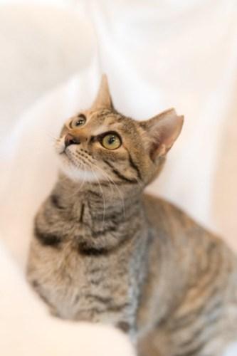アトリエイエネコ Cat Photographer 39756856912_d94df5f82f 1日1猫!CaraCatCafe美人で甘えん坊ののちゃん! 1日1猫!  里親様募集中 箕面 猫写真 猫 子猫 大阪 写真 保護猫カフェ 保護猫 スマホ キジ猫 カメラ Kitten Cute cat caracatcafe