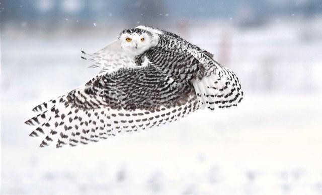 Snowy Owl - rural west Ottawa