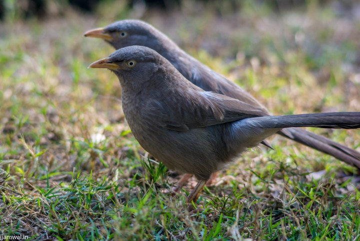 Jungle Babbler. (Turdoides striata striata) They are frequently seen in Delhi too, in groups of 4 - 6 birds. Very noisy, inquisitive and active bird.