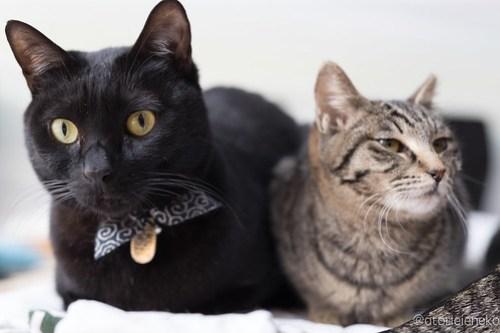 アトリエイエネコ Cat Photographer 26485463958_ea1dcfaa2a 猫カフェきぶん屋